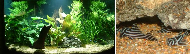 freshwater aquariums, fish, aquatic plants
